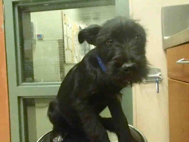 Meet UNKNOWN, an adoptable Schnauzer looking for a forever home. If you're looking for a new pet to adopt or want information on how to get involved with adoptable pets, Petfinder.com is a great resource.