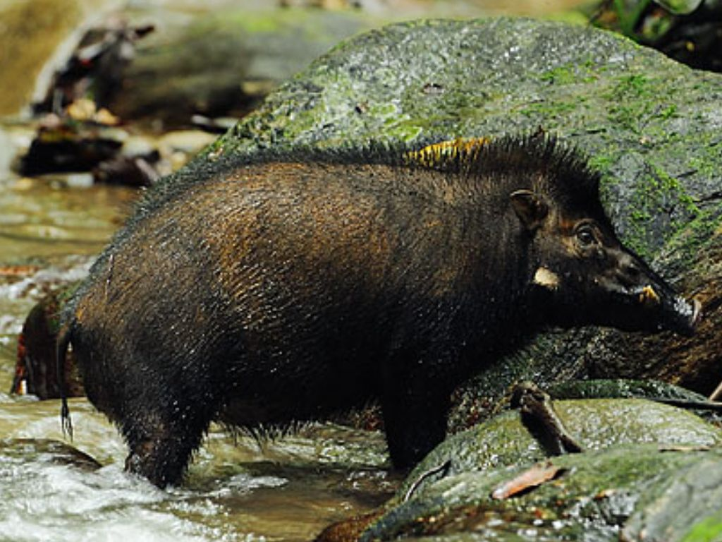 Image result for Celebes warty pig