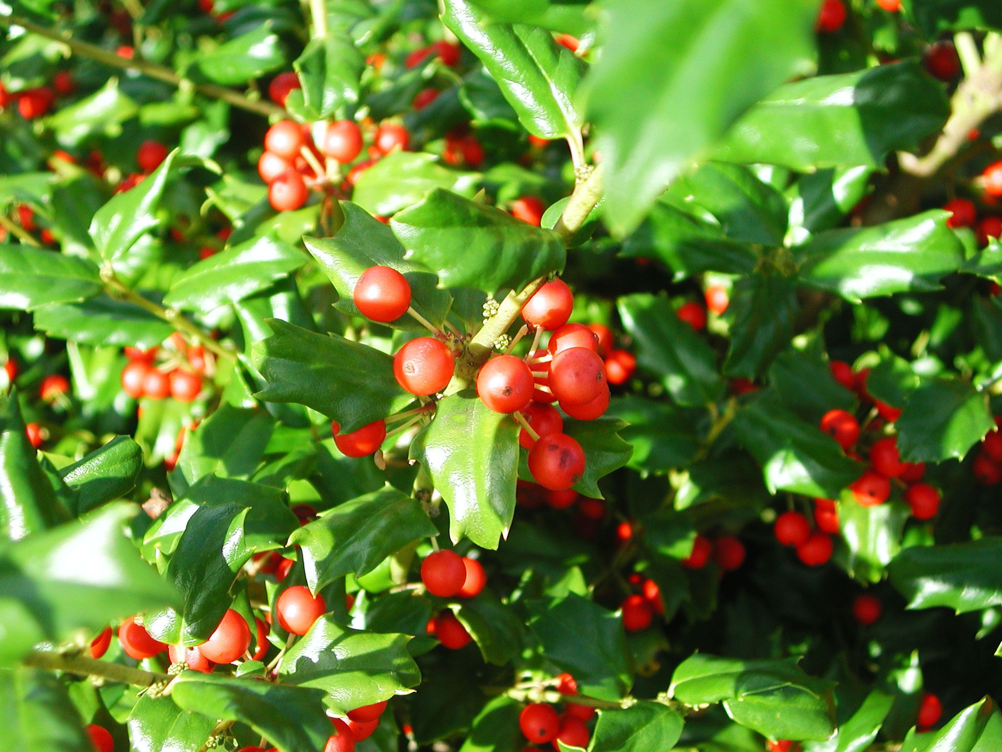 Have To Have Some Holly China Holly Holly Shrub Winter Shrubs Winter Plants