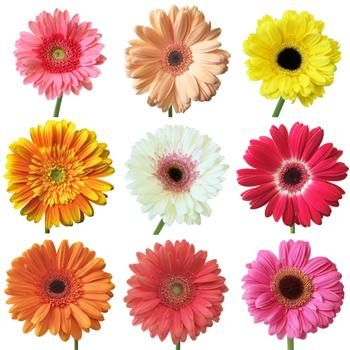 Fresh Cut Gerbera Daisies for Mom are not only beautiful, but also actually symbolize love for a mother. Gerberas are saucer-shaped blooms, with an eye-like center that is surrounded by a ring of short, fuzzy petals. This ring is surrounded by another ring of longer, spear-shaped petals. All of these can vary widely in color; the colors you receive will be based on farm availability and freshness. Use alone for bright arrangement, or pair add in Green Mini Hydrangea for texture.