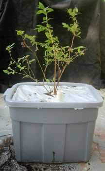 Blueberries In A Self Watering Container | Root Simple