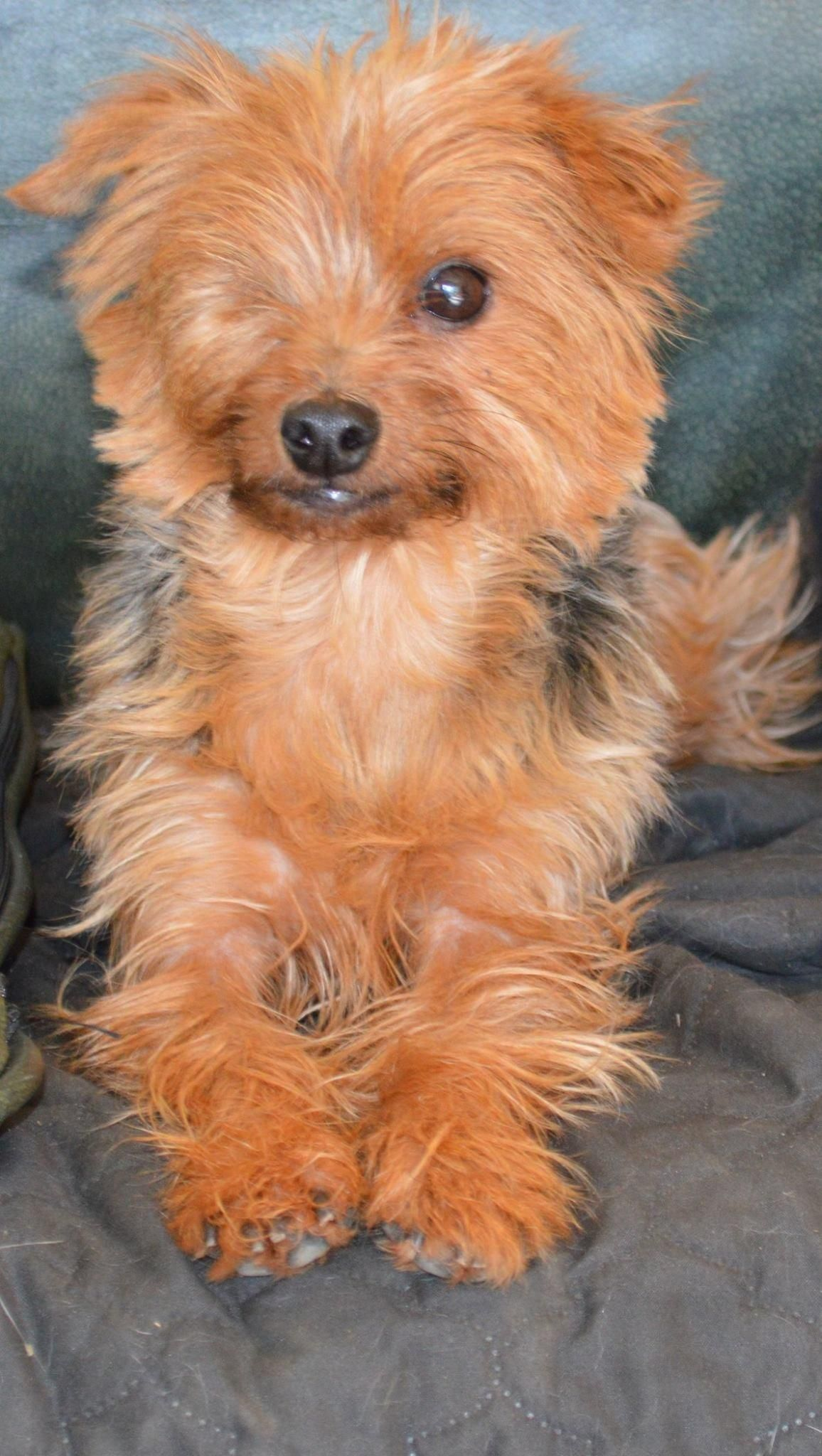 Adopt Mai Tai On Petfinder Terrier Mix Dogs Yorkshire Terrier Yorkie
