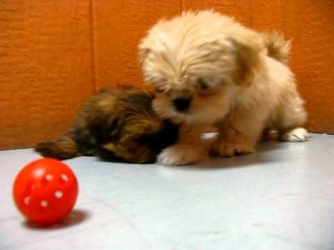 Lhasa Apso Puppies Playing 19breeders With Images Lhasa Apso