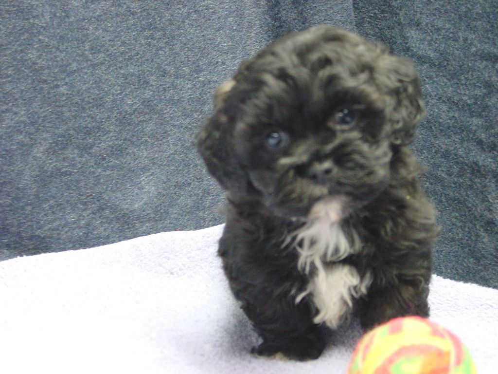 Bichon Shih Tzu Poodle Puppies For Sale In St Paul Mpls