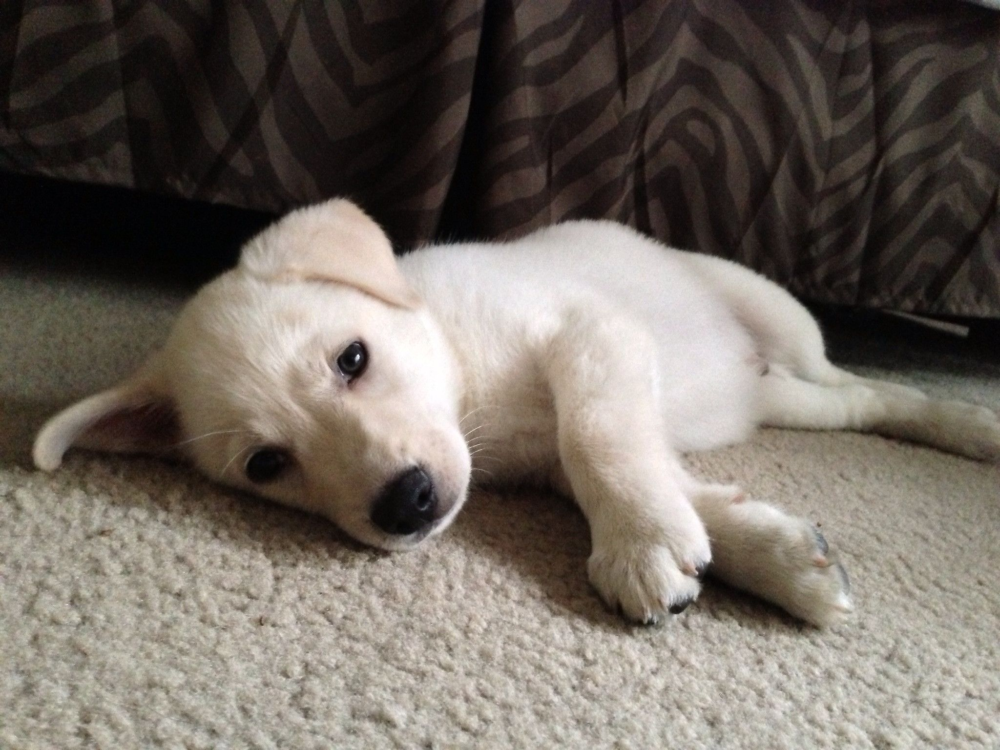Lab Shepherd Mix Google Search Lab Mix Puppies Husky Puppy Puppies