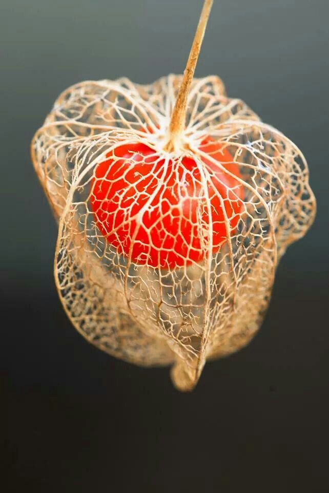 physalis chinese lantern f chinese lanterns pinterest seeds flowers and plants. Black Bedroom Furniture Sets. Home Design Ideas