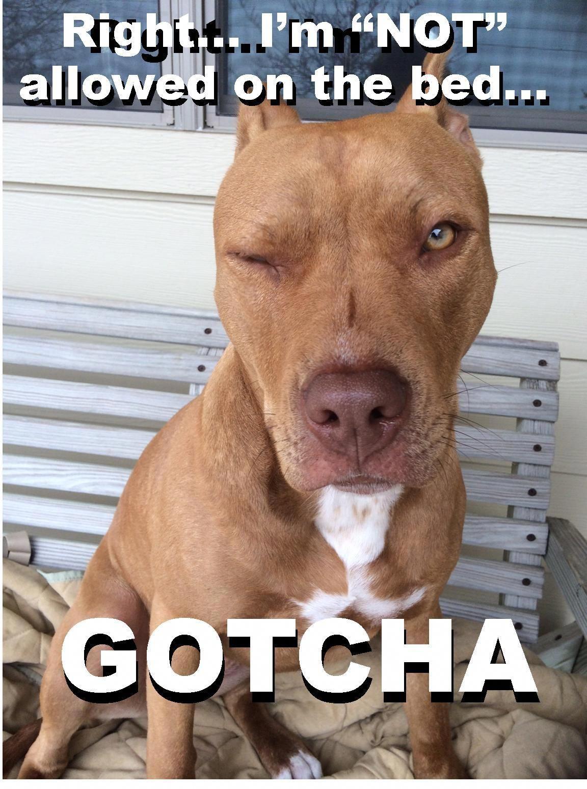 Lol Pitbull Dog Cute Pitbull Dog Meme Cute Message From Lola The
