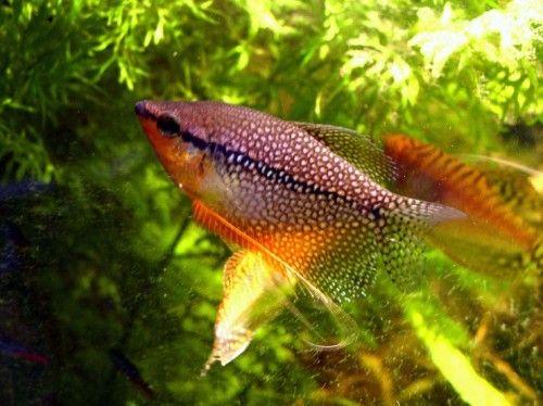 Pearl Gourami The Care Feeding And Breeding Of Pearl Gouramis Aquarium Tidings Tropical Freshwater Fish Fish Tropical Fish Tanks