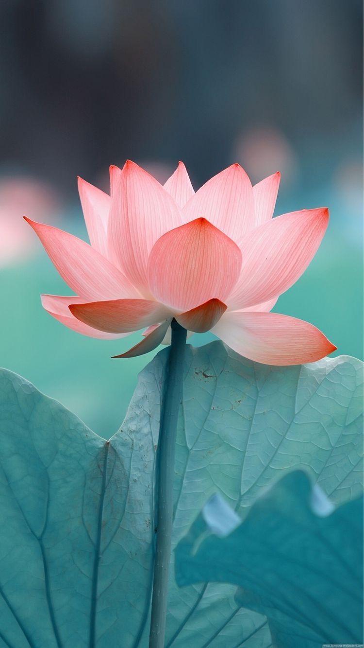 Fondo de pantalla gratis flor de loto