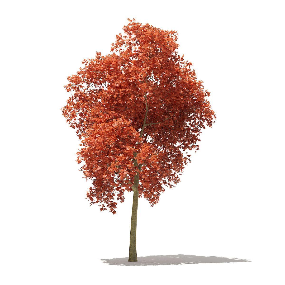 Red Oak Quercus Rubra L 17 7m Oak Red Quercus Rubra Red Oak Tree Red Oak Red Tree