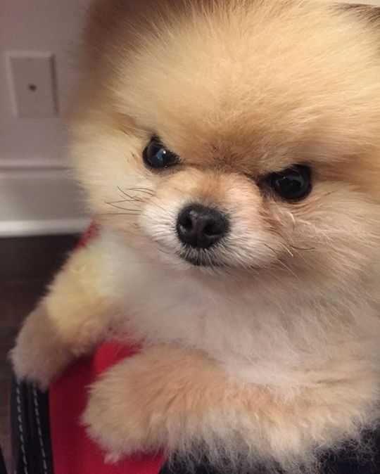 Popular Spherical Chubby Adorable Dog - 69dac014a1bf48f01cff5107cc3ffb8f  2018_952942  .jpg