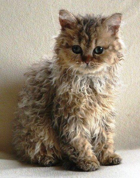 Curly Coat Kitten Kittens Cutest Beautiful Cats Cute Animals