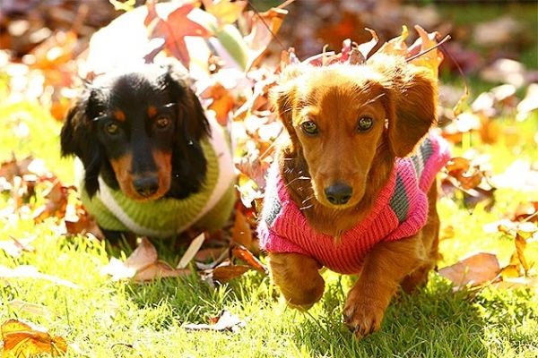 Six Month Old Dachshund Puppies Frank And Jet Play In The Winter Leaves At Varsity Lakes Gold Coast Australia Dachshund Pictures Dachshund Love Hot Dog Stand