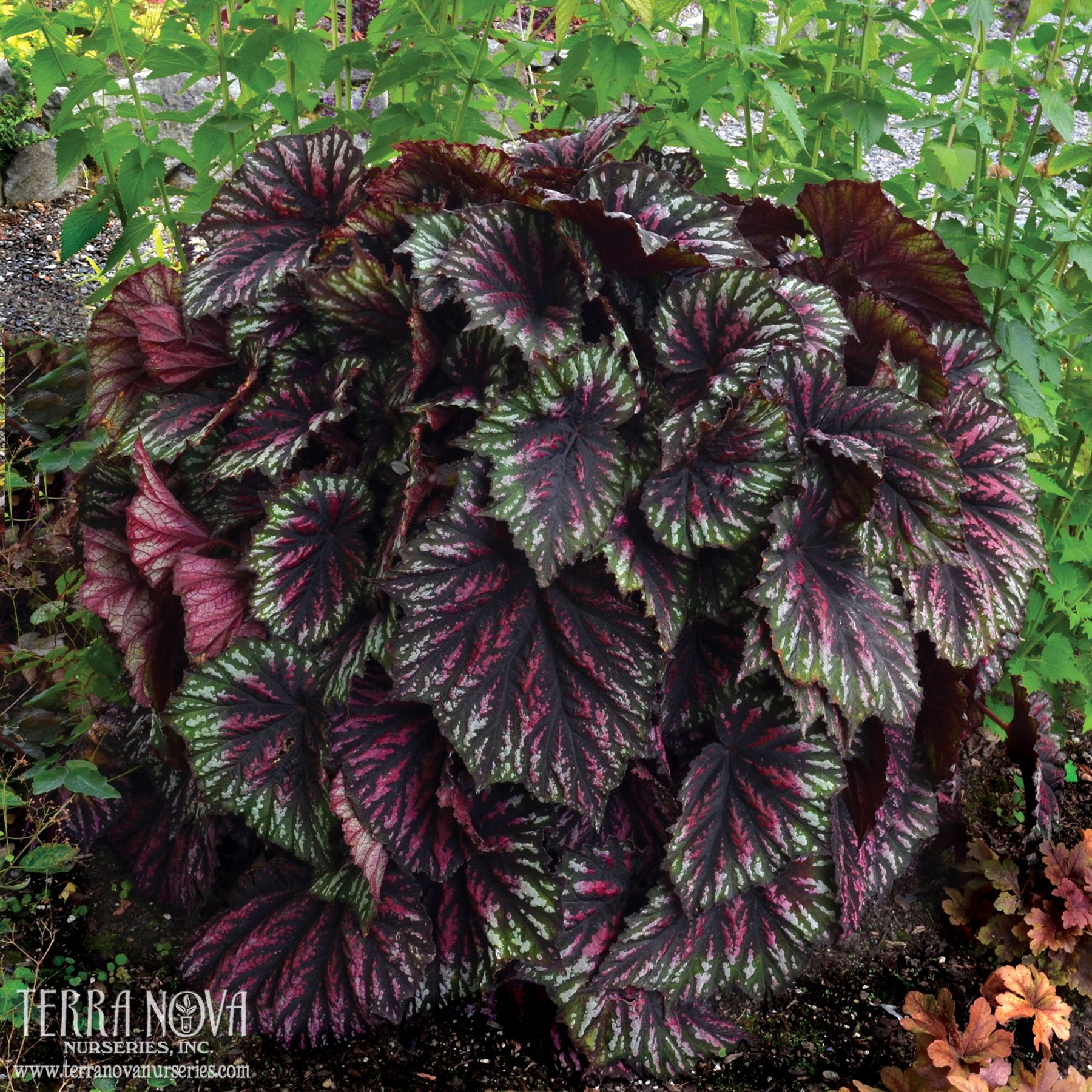 Begonia T Rex Painter S Palette With Leaves Shaped Like An Artists Palette This New Hybrid Is Classy And Understated Shade Plants Plants Foliage Plants