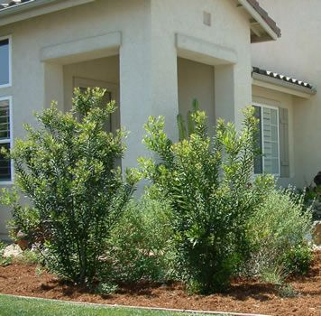 myrica californica - favorite fast-growing