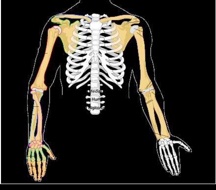 Arm - Wikipedia   Anatomy   Pinterest