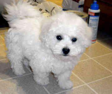 I Want One Of These Bichon Frise Puppy Bichon Frise Bichon