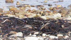Kelp or Seaweed?
