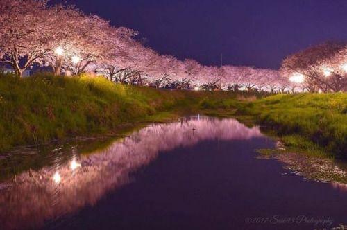 Row Of Cherry Blossom Trees Of Kusaba River Fukuoka Blossom Trees Cherry Blossom Tree Japan Photo