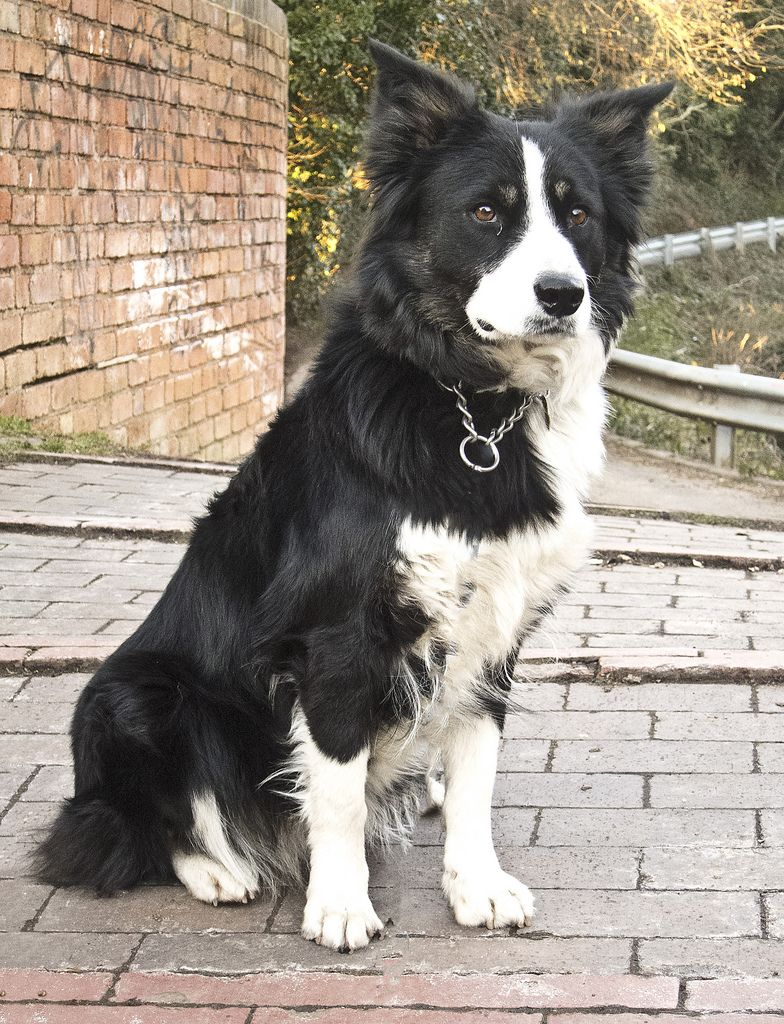 Border Collies Beautiful Working Dogs And Family Pets Collie