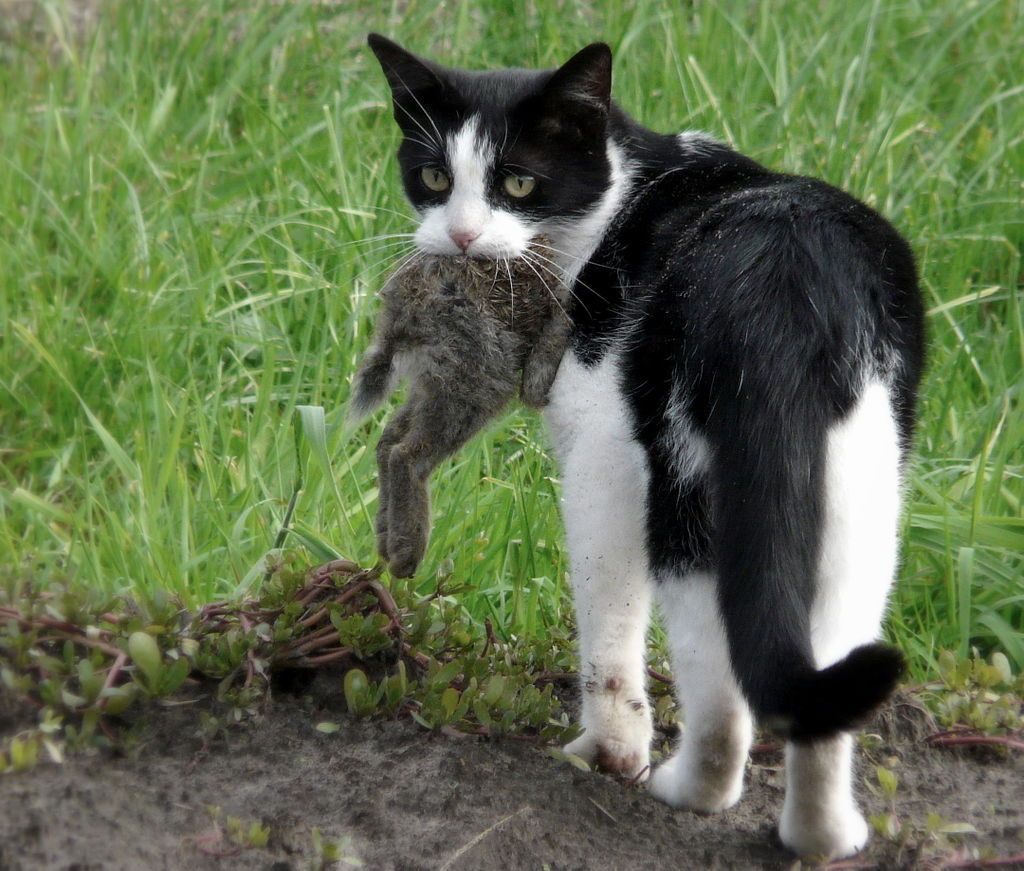 Feral cat carrying a rabbit prey. Feral cats, Cats, Cat