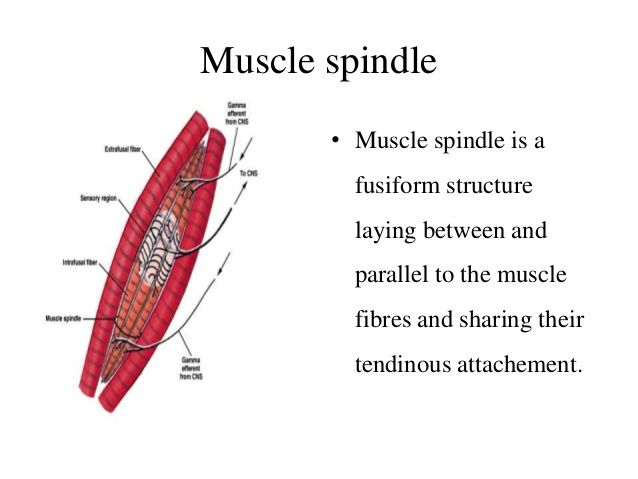 Muscle spindle • Muscle spindle is a fusiform structure laying between and  parallel to the muscle fibres and sharing thei...