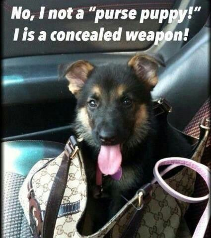 Love This Gsd In Training  Bite U Later If You Try  Rob Steal Hurt My Human Family Be Warned I Am Here To Protect And Love Them As They Love
