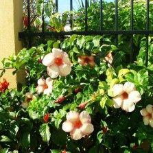 Tanaman Hias Bunga Bibitbunga Com Part 12 Tanaman Bunga Tanaman Rambat