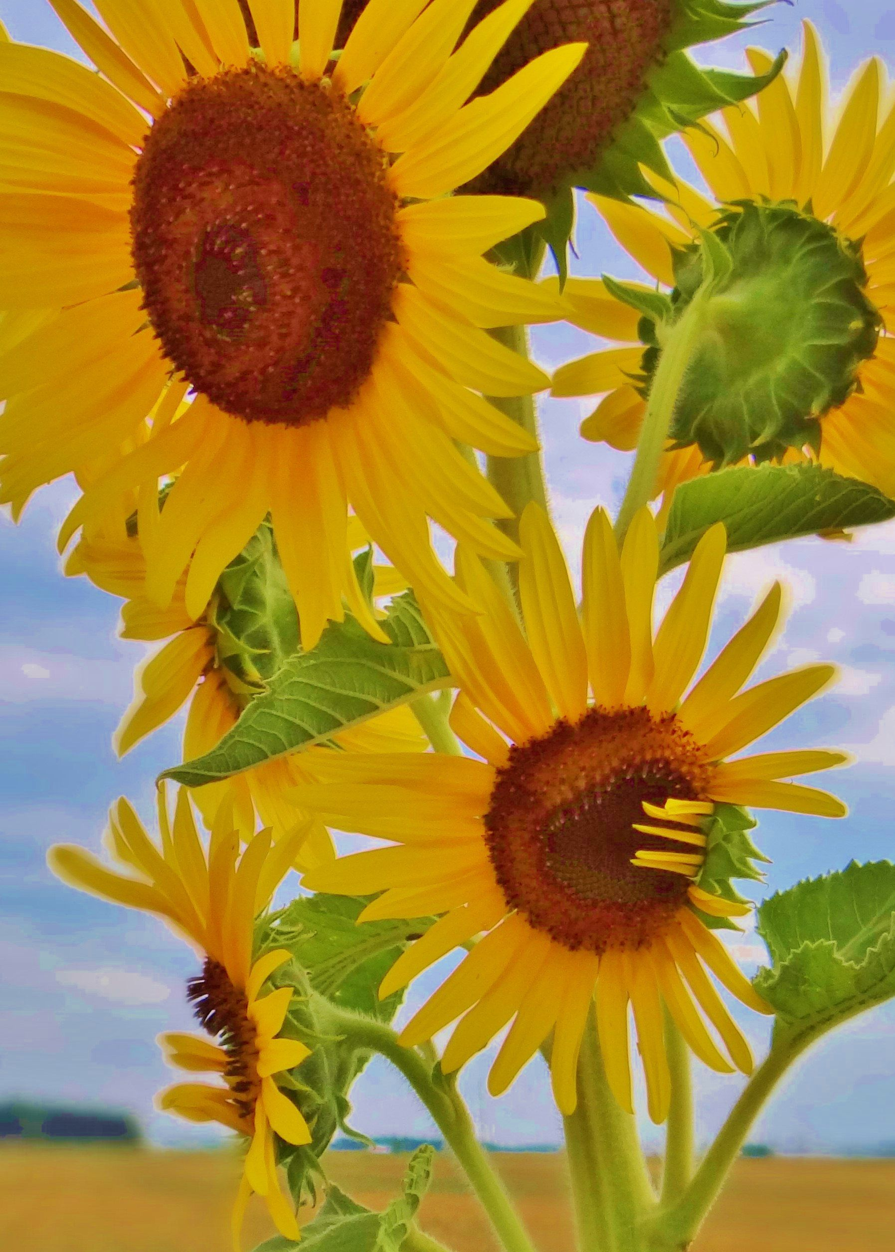 Beautiful Sunflowers Against The Blue Sky By K Mericle Adkins
