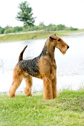 Stone Ridge Airedales Airedale Dogs Airedale Terrier Terrier Dogs