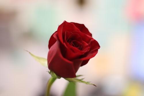 اجمل ورود الحب ورود حب وغرام ورود رومانسية جدا Zina Blog Rose Pictures Yellow Roses Rose