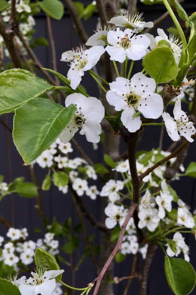When To Fertilize Fruit Trees Seasonal Timing Tips For Feeding Your Fruit Trees Home For The Harvest Fruit Trees Fruit Bearing Trees Crabapple Tree