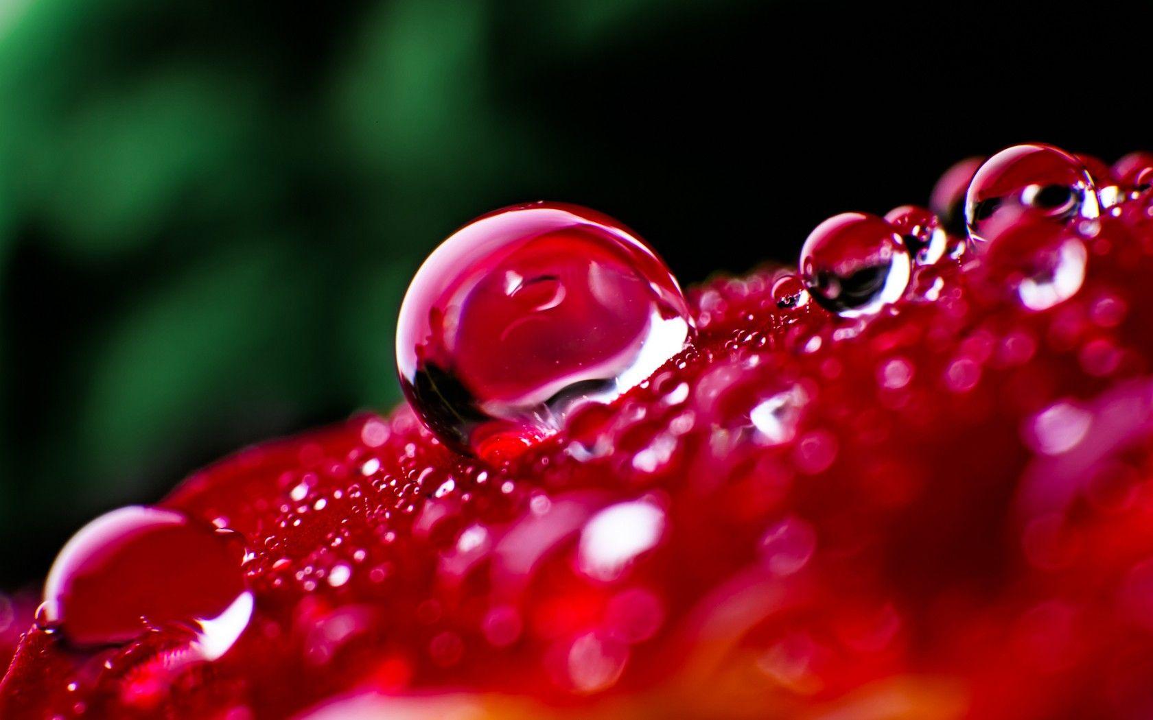 Flower Macro Drops Water Rose Red Hd Garden Wallpaper Flower HD