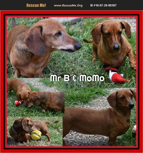 Dachshund Green Cove Springs, FL Dachshund rescue