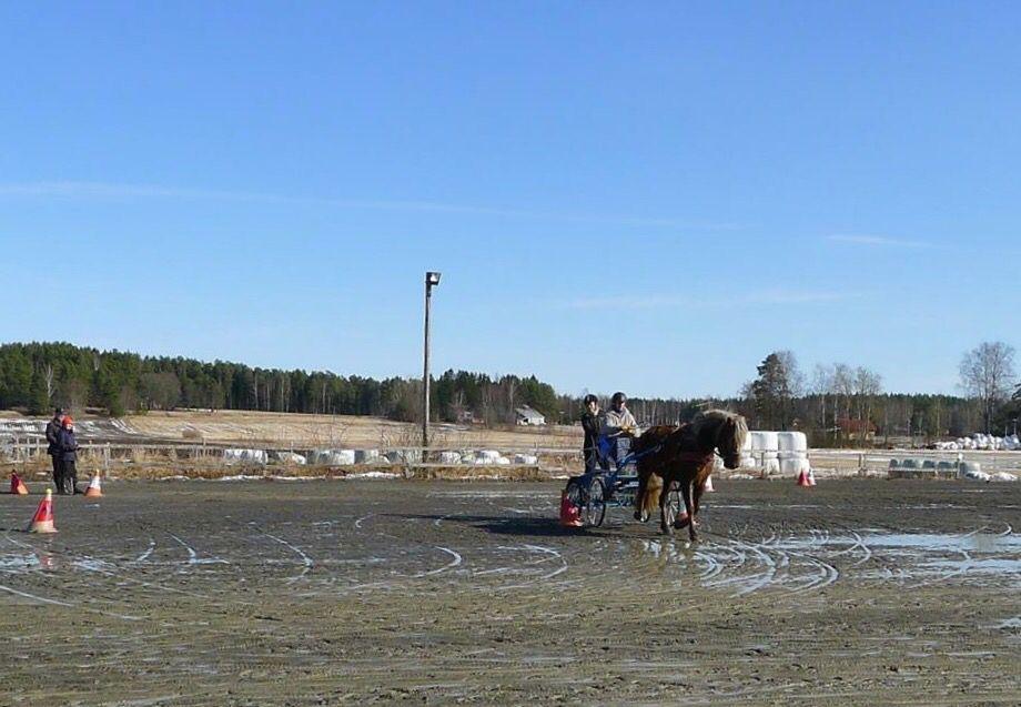 Aamun Hurmo Finnhorse mare 2011
