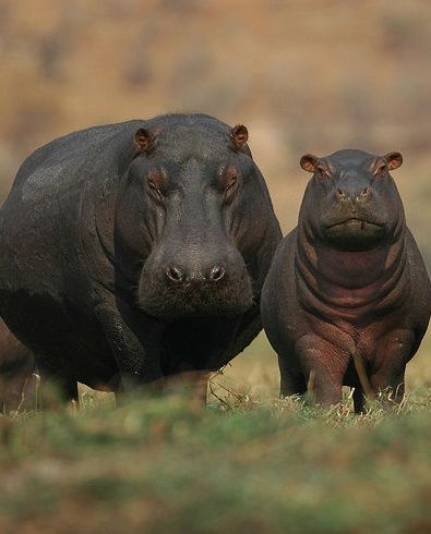 Mother And Baby Hippo More People Are Killed By Hippos Than Any Other Animal In Africa Saugetiere Wilde Tiere Coole Tiere