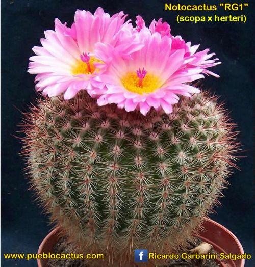 """Notocactus """"RG1"""" (N. herteri x N. scopa)"""
