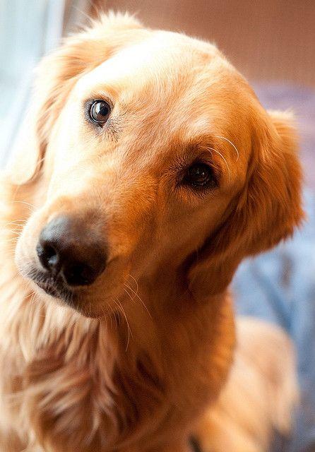 Curious Face Golden Retriever Dogs Golden Retriever Baby Dogs