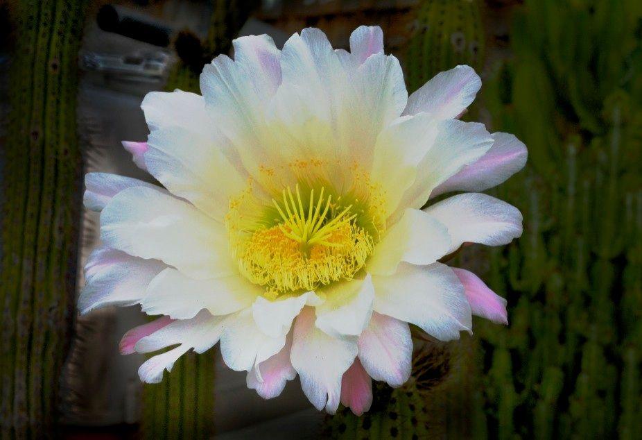 Cactus flower in neighbor's yard