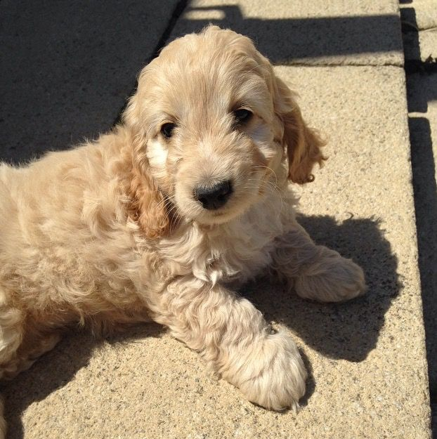 Pin By Renee Nettles On Doodles Dog Pictures Golden Retriever Animals