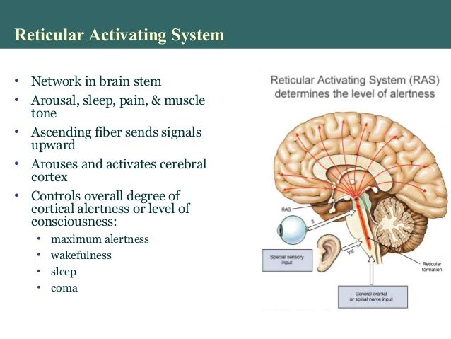 Image Result For Arousal And Consciousness Reticular Activating