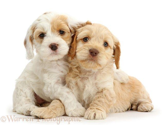 Two Cockapoo Puppies White Background Cockapoo Puppies
