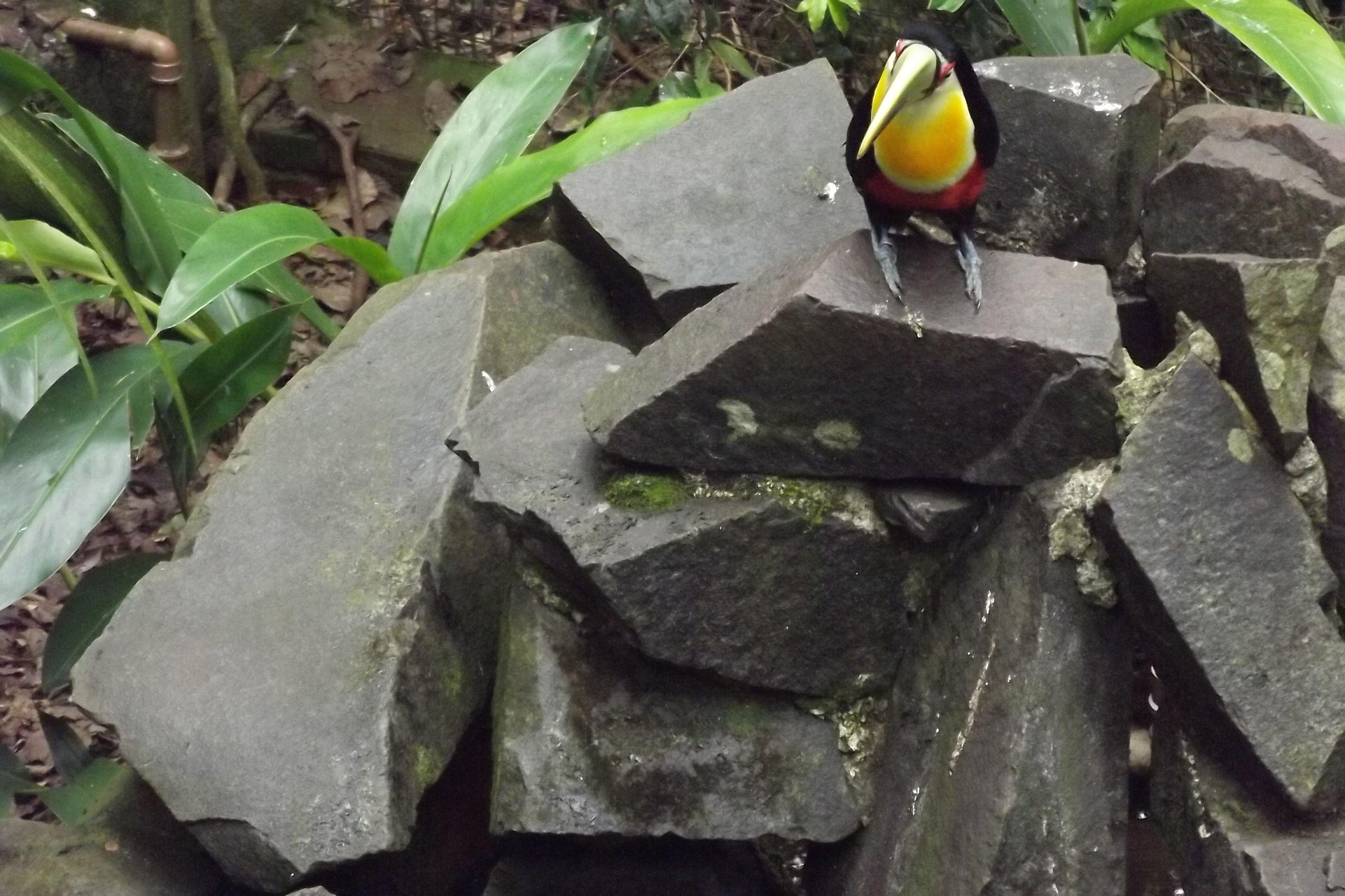 tucano  em Parque das aves Foz do Iguaçu -Brasil
