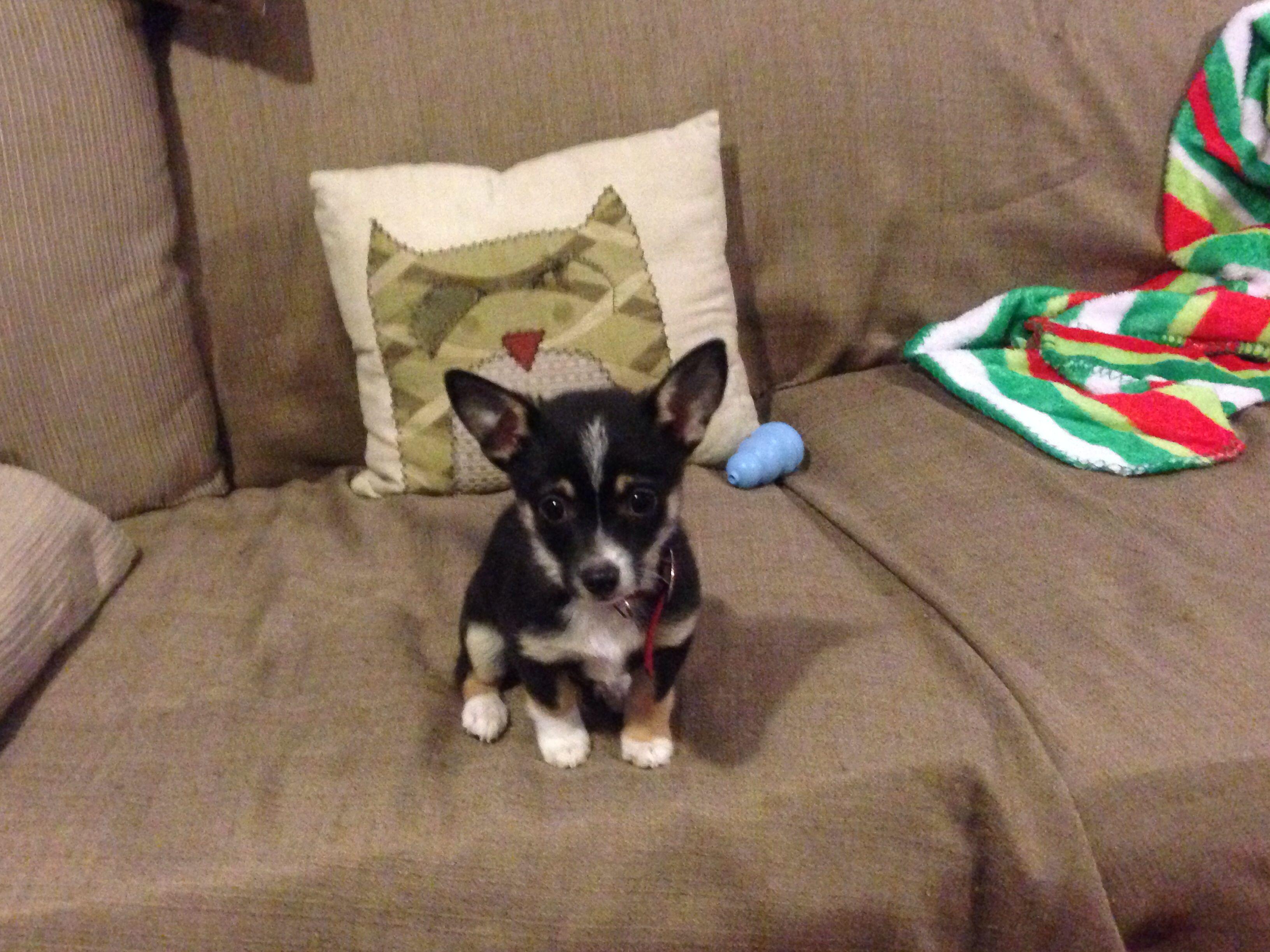 Top Chihuahua Chubby Adorable Dog - 69e3d258a1215ed9ba89b3b4c7152b61  HD_589012  .jpg