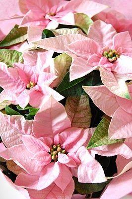 Xmascloset Pink Christmas Beautiful Flowers Poinsettia