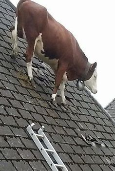 Cow On Roof In Switzerland Cattle Face Expressions Cow Bell