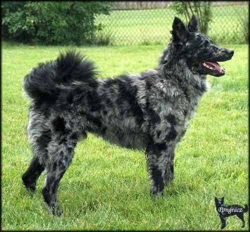 Mudi Dog Rajk , black merle male, usa | b a s i l ...