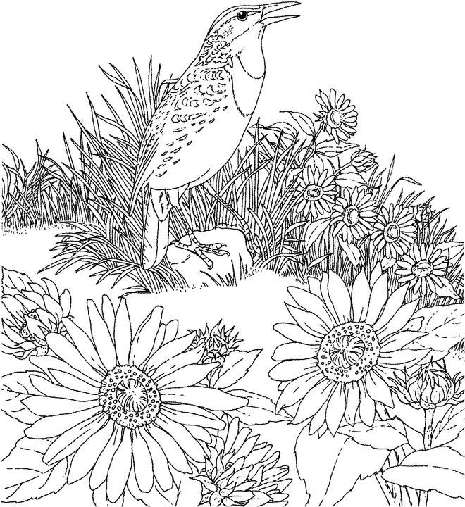 Kansas day coloring pages for kids ~ Kansas Western Meadowlark Coloring Page | Purple Kitty ...