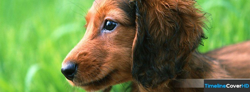 Cute Dachshund Puppy Timeline Cover 850x315 Facebook Covers