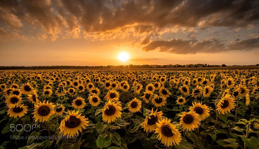 Sunflowers At Sunset By Markandreasjones Landscapes Landscapephotography Nature Travel Photogra Field Wallpaper Desktop Wallpaper Art Sunflower Wallpaper